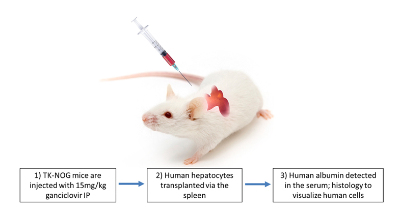 Creating Humanized Liver Mice