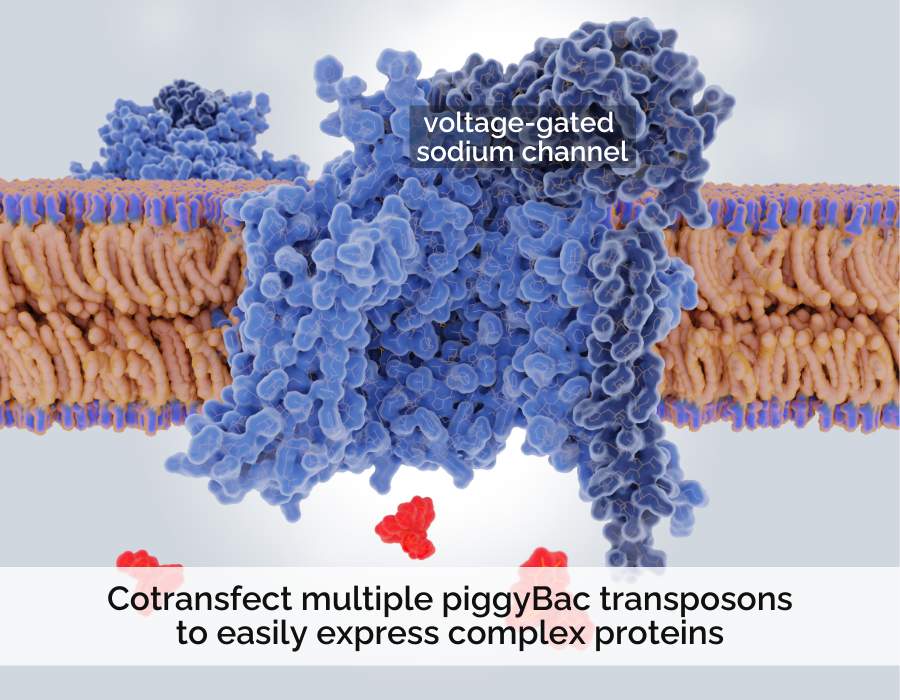 Hera Biolabs - Blog - Cotransfect Multiple piggyBac Transposons to Easily Express Complex Proteins