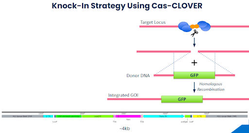 Hera Biolabs - Insights - Optimizing Cell Based Research Models with Cas-CLOVER - Image 1